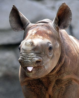 Baby Rhino Taunts Us With His Tongue Out!
