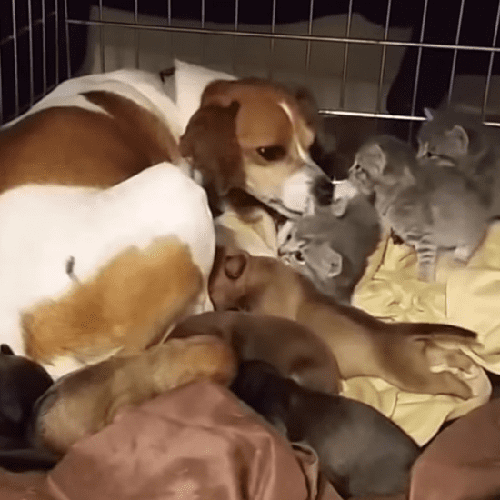 Dog Fosters Orphaned Kittens | Video
