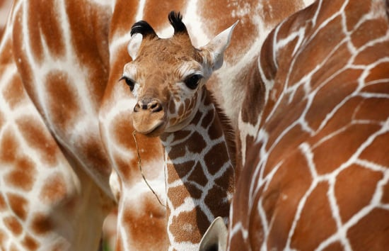 Pictures of Carlo the Giraffe at Nuremberg Zoo