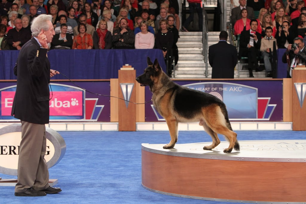 """GCH CH Babheims Captain Crunch (""""Cap""""), the noble German Shepherd, looks like he laid off the cereal in preparation for his win in the Herding group. Source: AKC/Robert Young"""