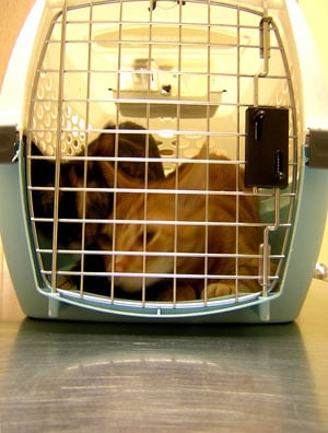 The Scoop: First H1N1 Cat Case Confirmed by AVMA