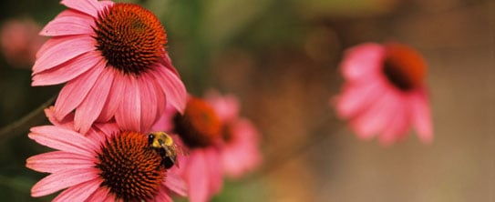Echinacea: Herbal Cold Remedy Vindicated