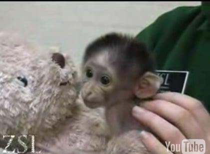 Cute Alert: White Naped Mangebay Baby Loves Her Teddy Bear