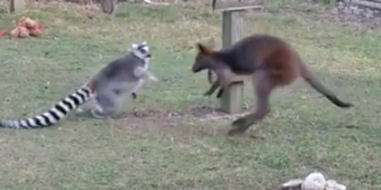When Lemur And Wallaby Play 'Catch Me If You Can,' It Isn't Fair