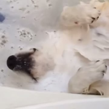 Video of Dog Enjoying a Massage in the Bath