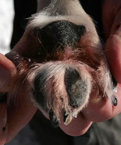 What Do You Know About Distemper?