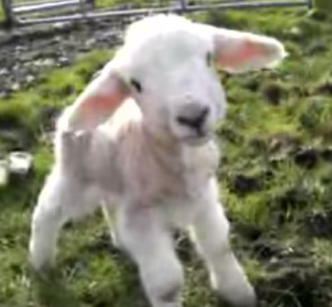 Baby Sheep Says Hello