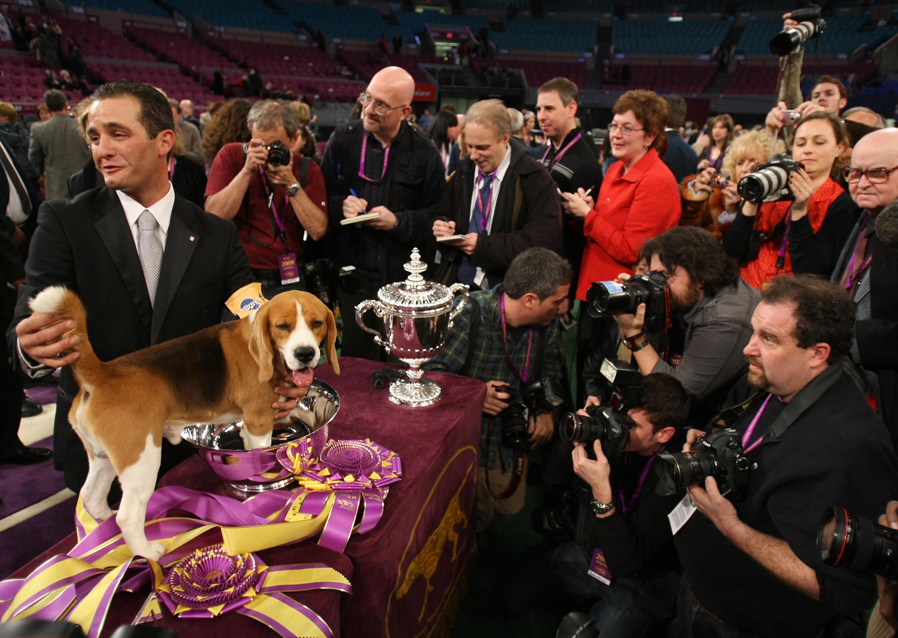 Super Cute Gallery: Big Beagle Being the Big Winner at Westminster!