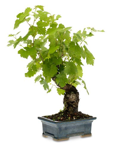 Cabernet Grapevine Bonsai: Love It or Hate It?