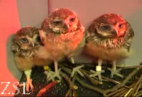 Cute Alert: Rescued Baby Owls