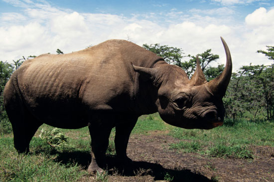 Creature Features: Rhinos