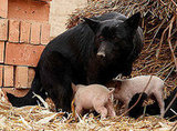 Orphaned Piggies Love Their Doggie Foster Mom!
