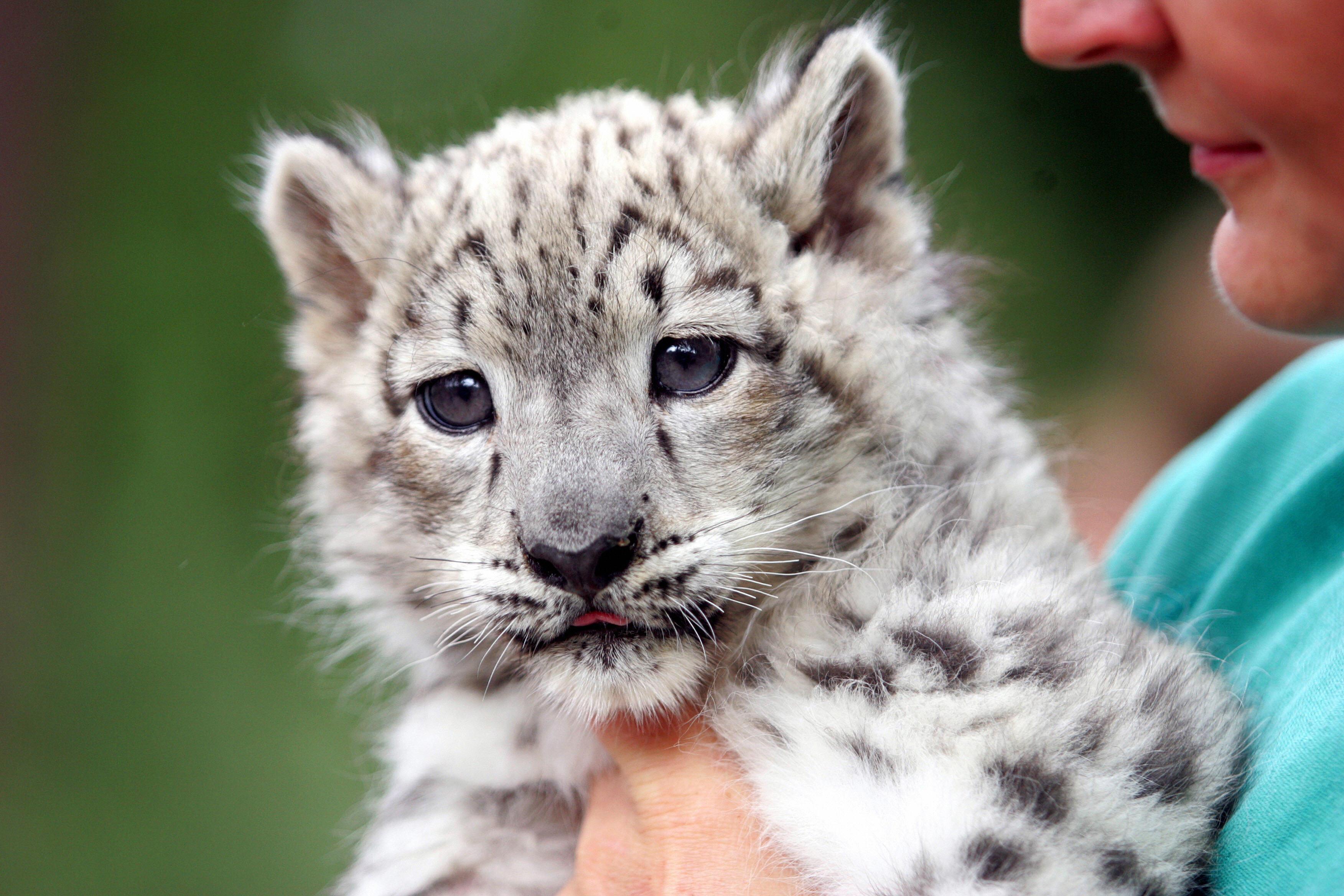 Baby white leopard - photo#16