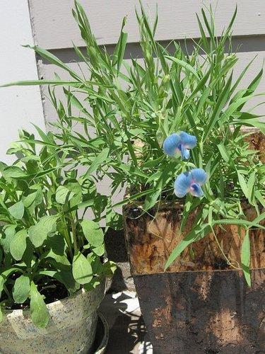 My Garden June