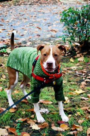 Clothing for Pit Bulls?