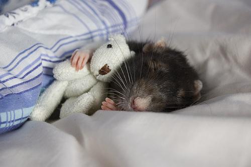 Cute Alert: Rat Snuggles With Teeny Tiny Stuffed Animal