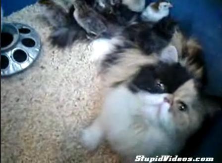 Cat Adopts Chicks