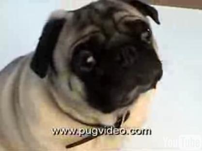 Do You Like Pugs?