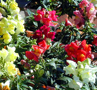 Flowers 101: Snapdragons