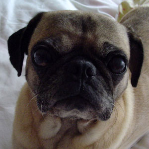 Rose:  Pug of the week