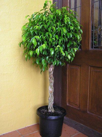 Plants That Purify:  Ficus