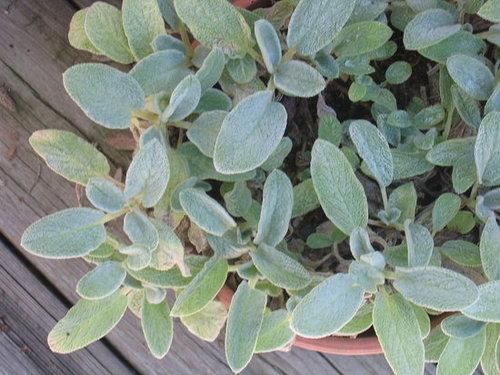 Lamb's Ear -- Easy to Grow!