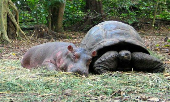130-Year-Old Male Tortoise Adopts Baby Hippo