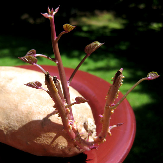 Is It Safe to Eat Potatoes That Have Sprouted? | POPSUGAR