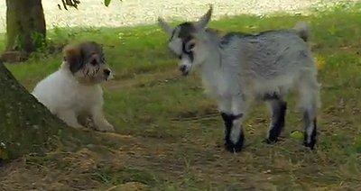 Baby Pygmy Goat Befriends Puppies (VIDEO)