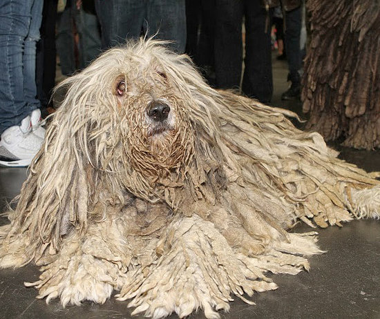 Big White Mop Dog