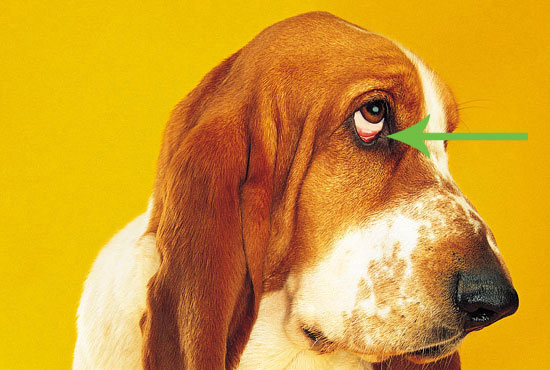 Dog Eye Conjunctivitis Pictures