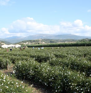 Tour of Beauty: Chanel's Jasmine Fields in Grasse, France