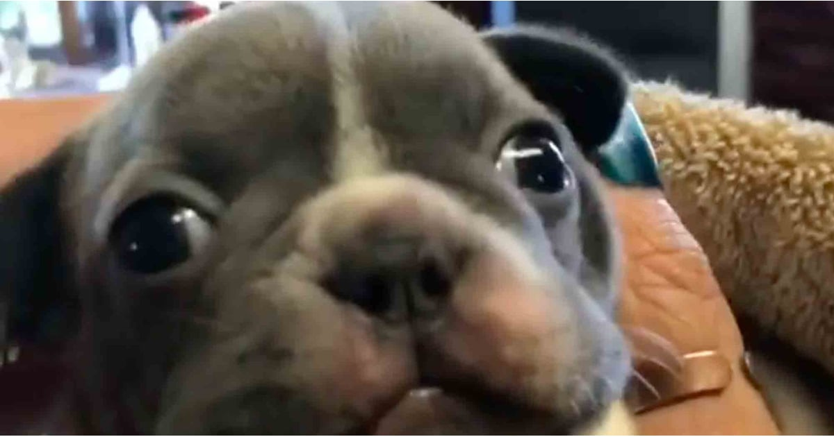 This Tiny Puppy Purrs Just Like a Cat, and I Think I'm in Love