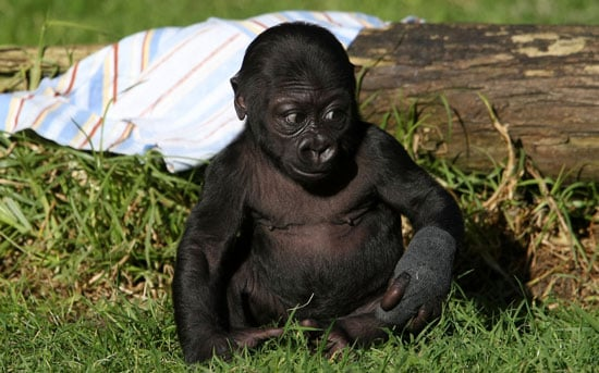 Hi, Hasani! SF Zoo's Gorilla Gets Named by Daddy