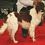 Irish Red-and-White Setter