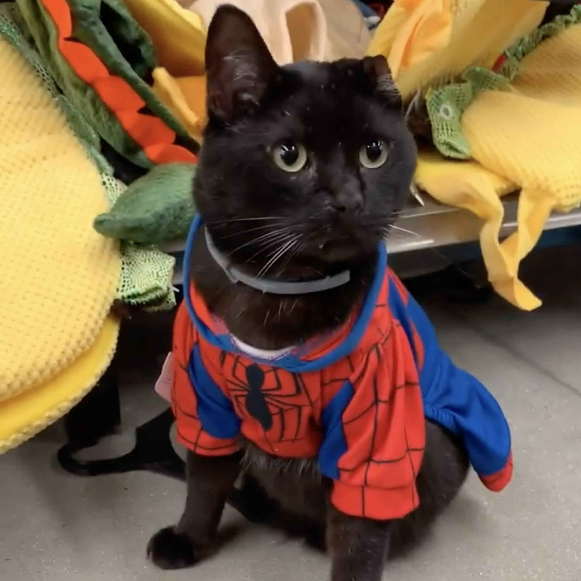 Uno the Cat Trying on Halloween Costumes in Petco