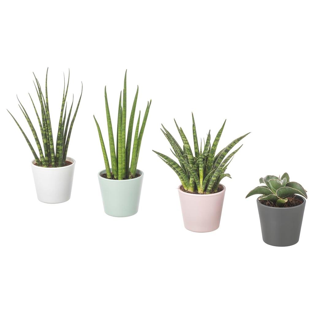 Sansevieria Plant With Pot