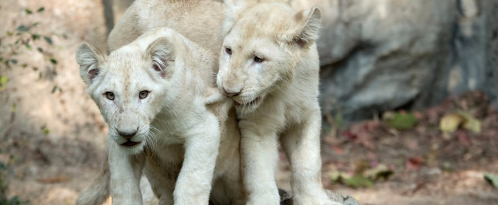 Dubai Safari Wants Kids to Name Its Cubs