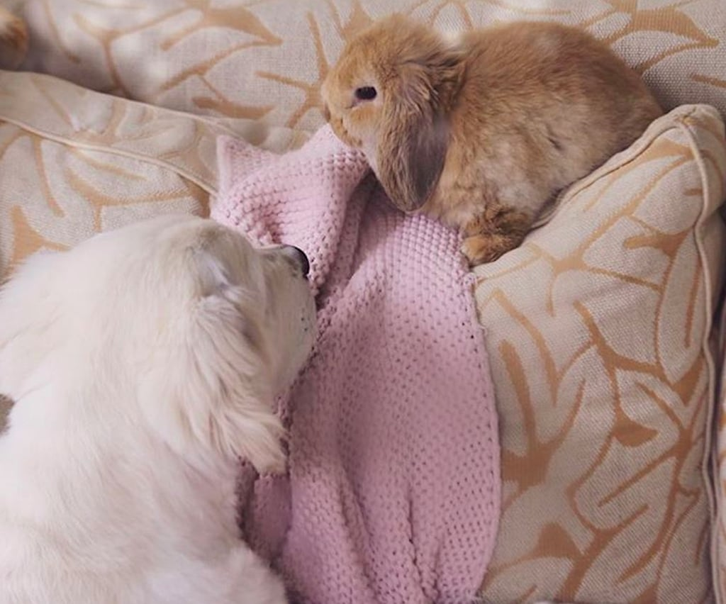 Cute Pictures of Golden Retriever and Bunny Rabbit