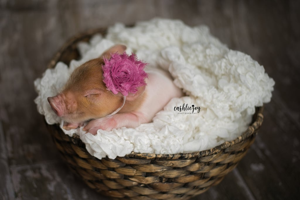 Adorable Newborn Piglet Photo Shoot Pictures