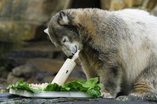 "A much more grown-up Knut celebrates his first birthday with a ""cake"" of fish and salad."