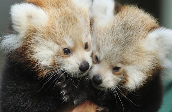Cute Alert: Twin Baby Red Pandas