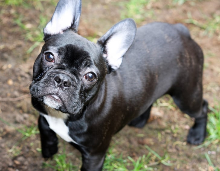 2012 Dog of the Year? French Bulldogs Are Seriously Popular