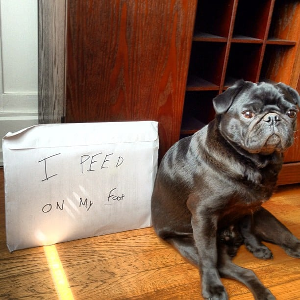 VP of Content Molly Goodson's pug, Oliver Platt Walrus, Esq., made an embarrassing confession with his head held high.