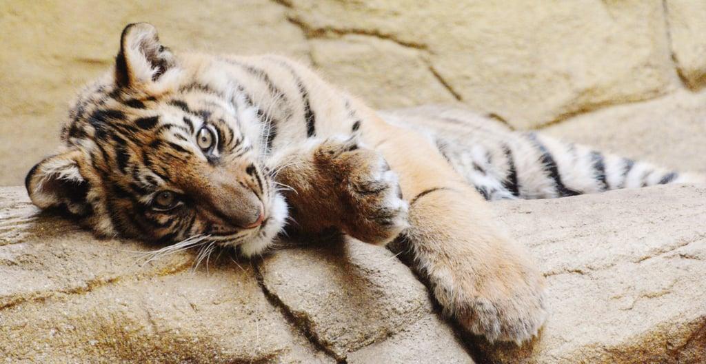 Cuddle a Baby Tiger