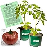Clovers Garden Cherokee Purple Tomato Plants