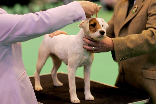 What Do You Know About Jack Russell Terriers?