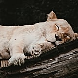 This lioness, who would like a blanket if there's one available.