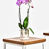 Potted Orchid Phalaenopsis Indoor Plant
