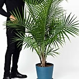 Large Potted Majesty Palm Indoor Plant